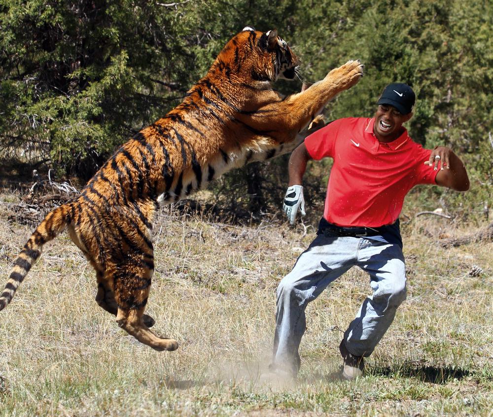 Tiger contre tigre