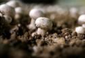 Des champignons dans une champignonnière (illustration)