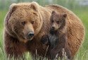 Des grizzlis aux États-Unis (Illustration)
