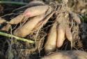 Des poires de terre