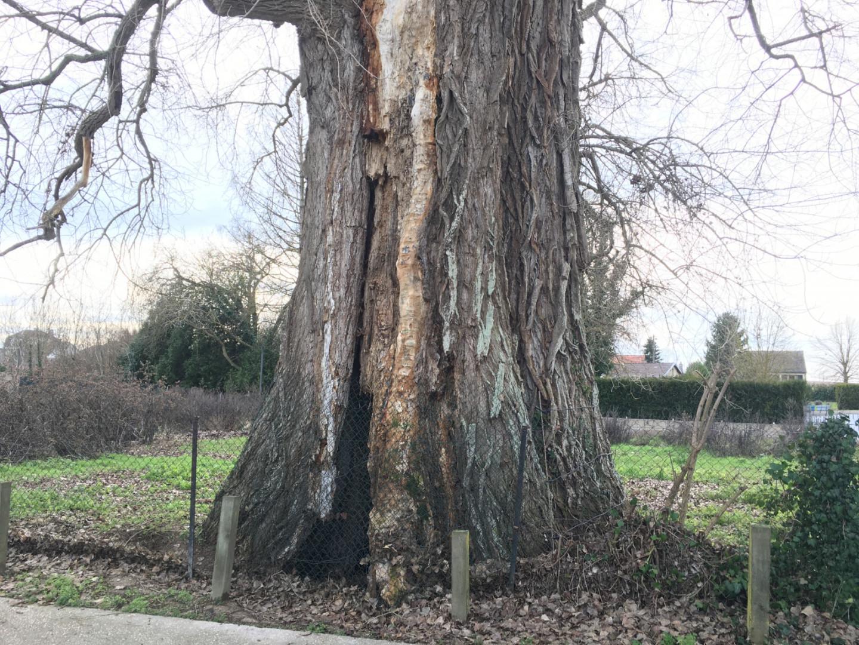 La Pouplie et son tronc de 12 mètres de circonférence
