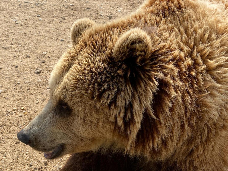 """Un ours, pensionnaire du zoo-refuge de """"La Tanière""""."""