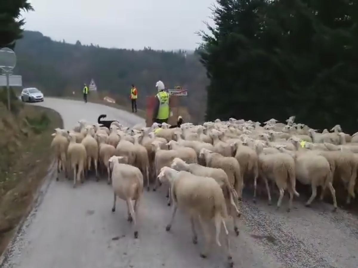 Un éleveur a bloqué les route avec ses moutons à Malvalette en Haute-Loire