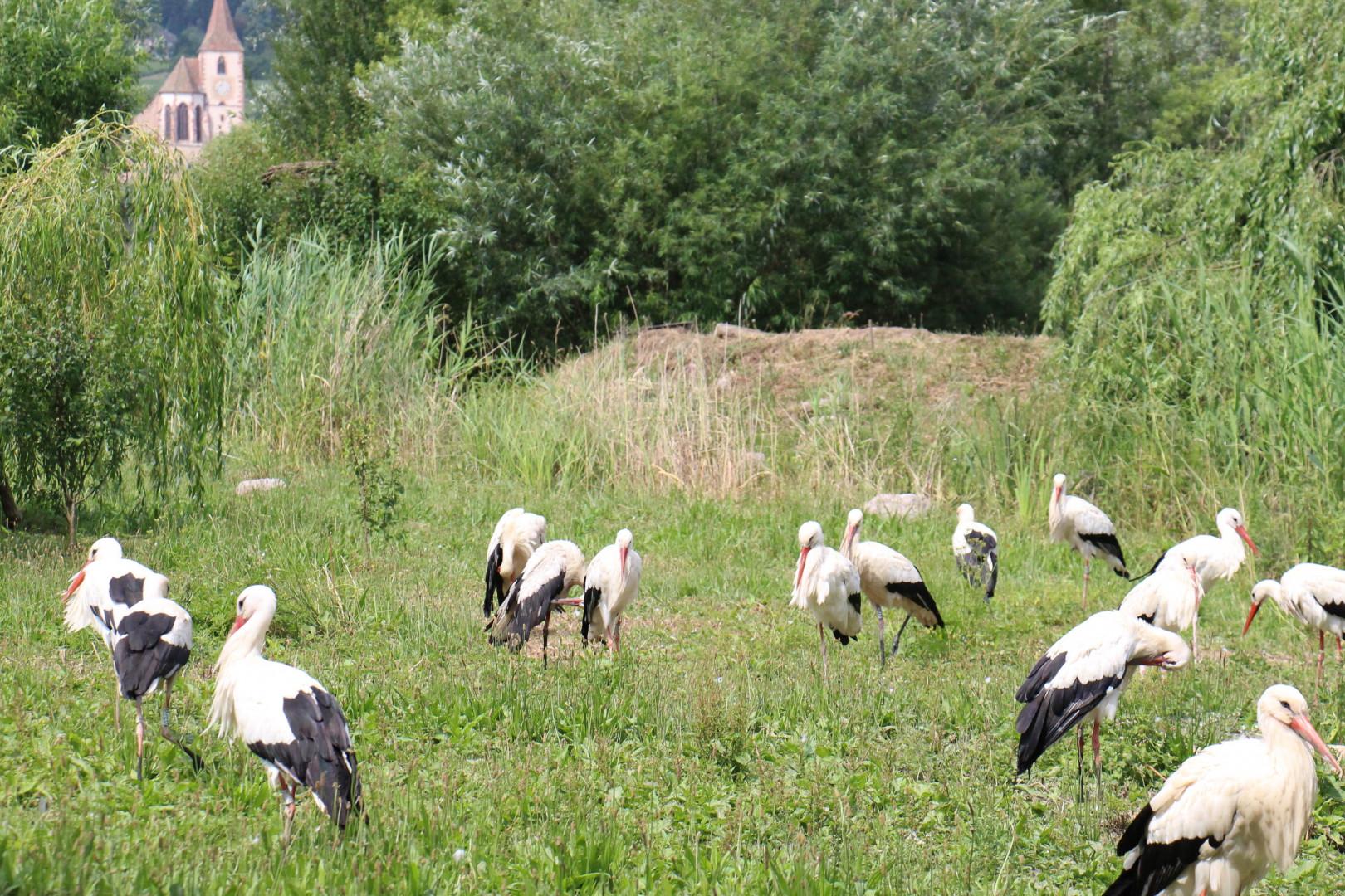 70 nids colonisent à présent le parc de Hunawihr