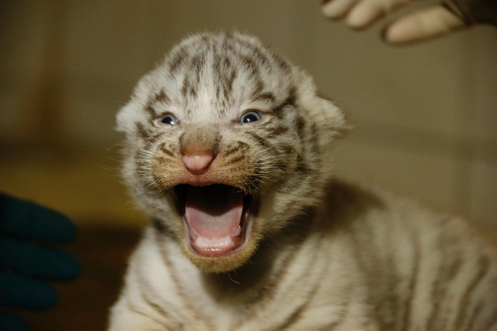Trois tigres blancs sont nés au zoo d'Amnéville le 15 janvier 2020