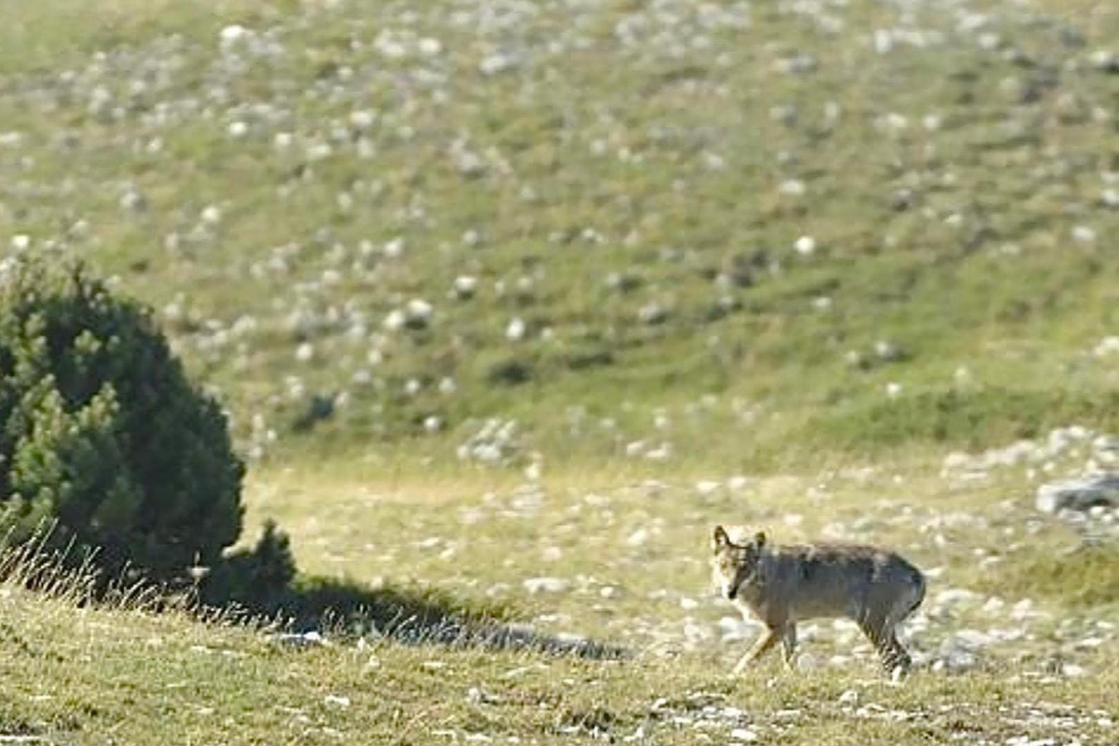Un loup dans le Vercors.