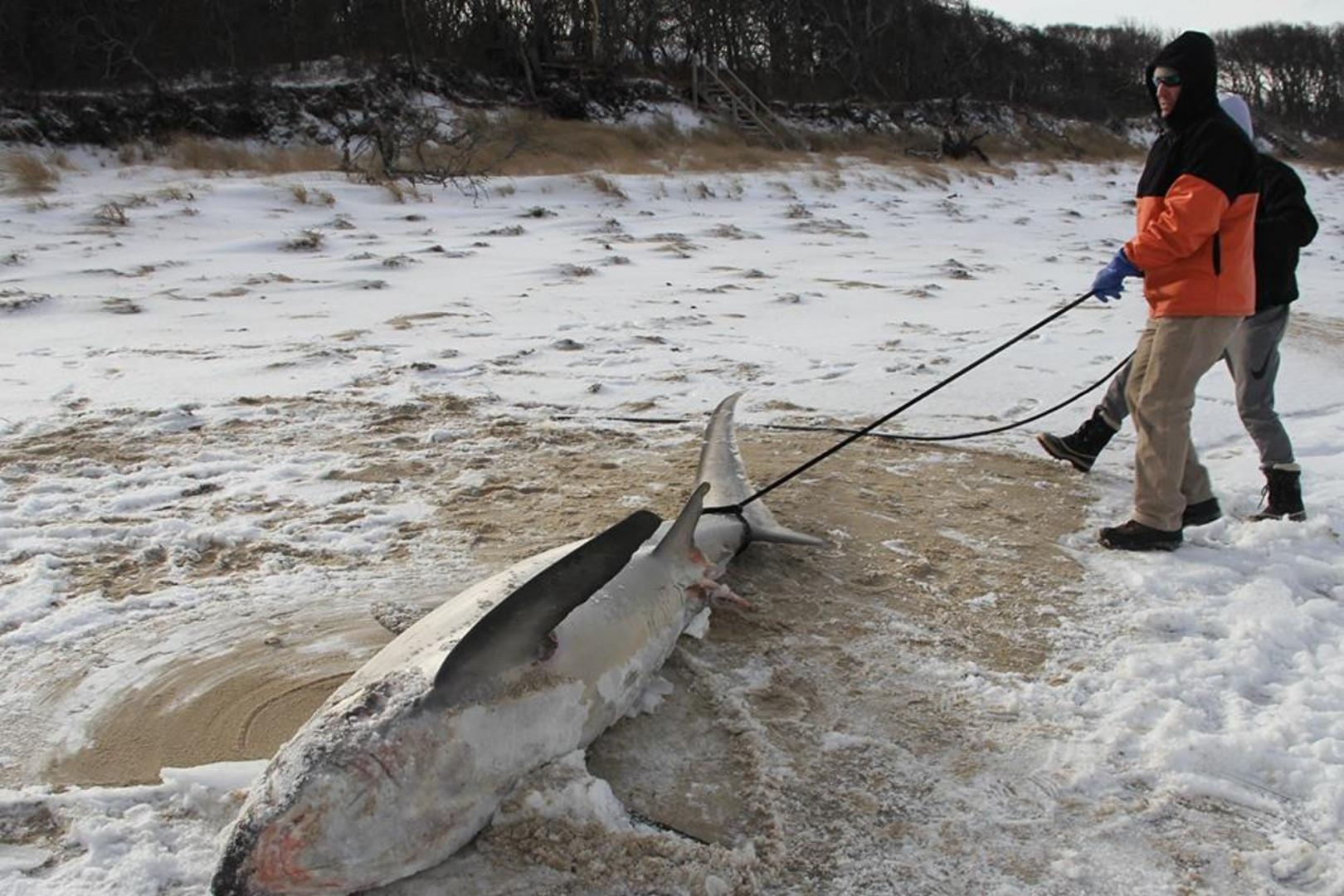 À cause du froid, de nombreux requins sont morts congelés