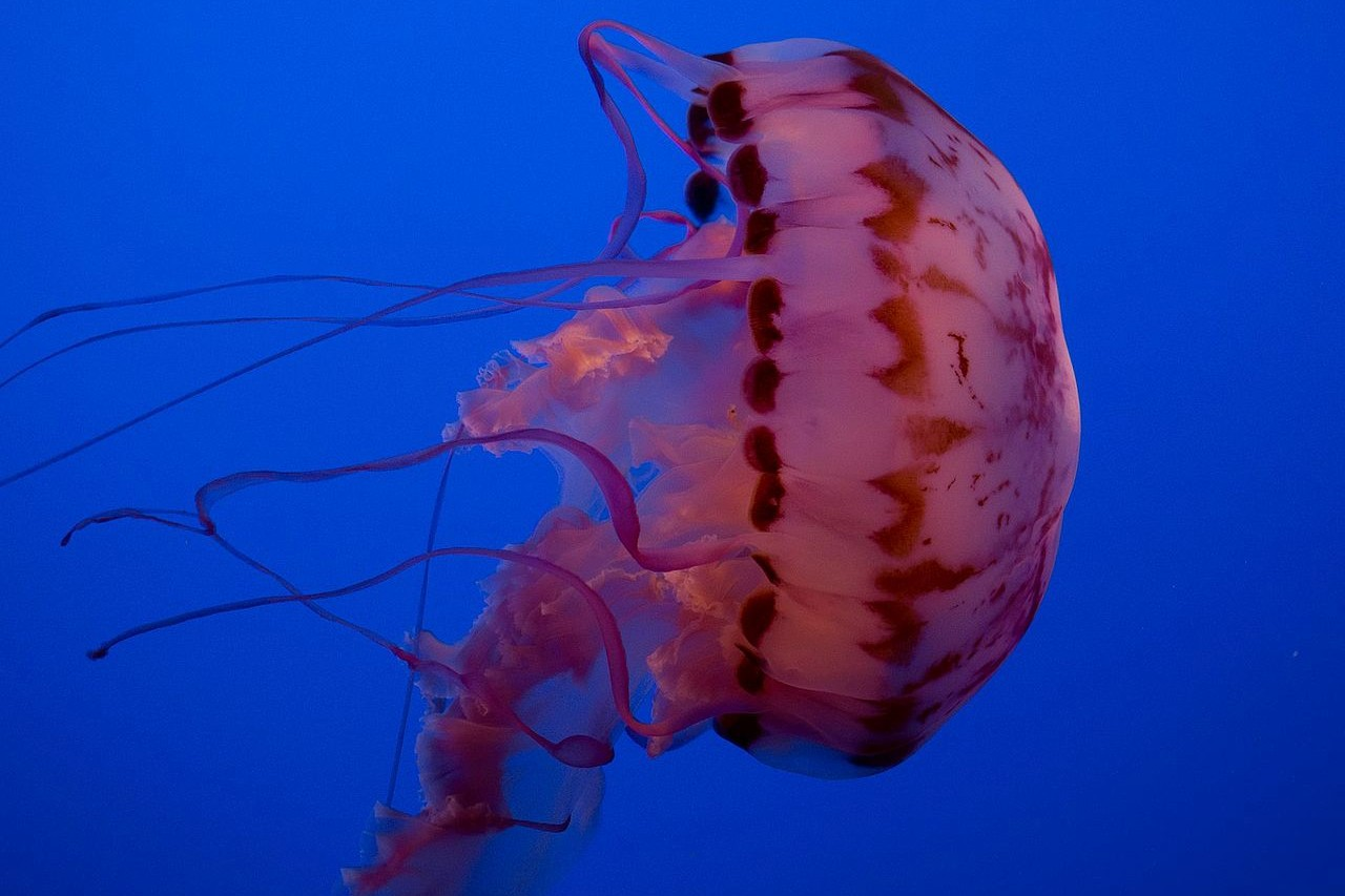 La chrysaora vit sur les côtes est et ouest des États-Unis, dans la Manche, en Méditerrannée et en mer du Nord. Ses 24 tentacules peuvent mesurer près de 2 mètres. Sa piqûre provoque de vives douleurs mais est rarement mortelle.