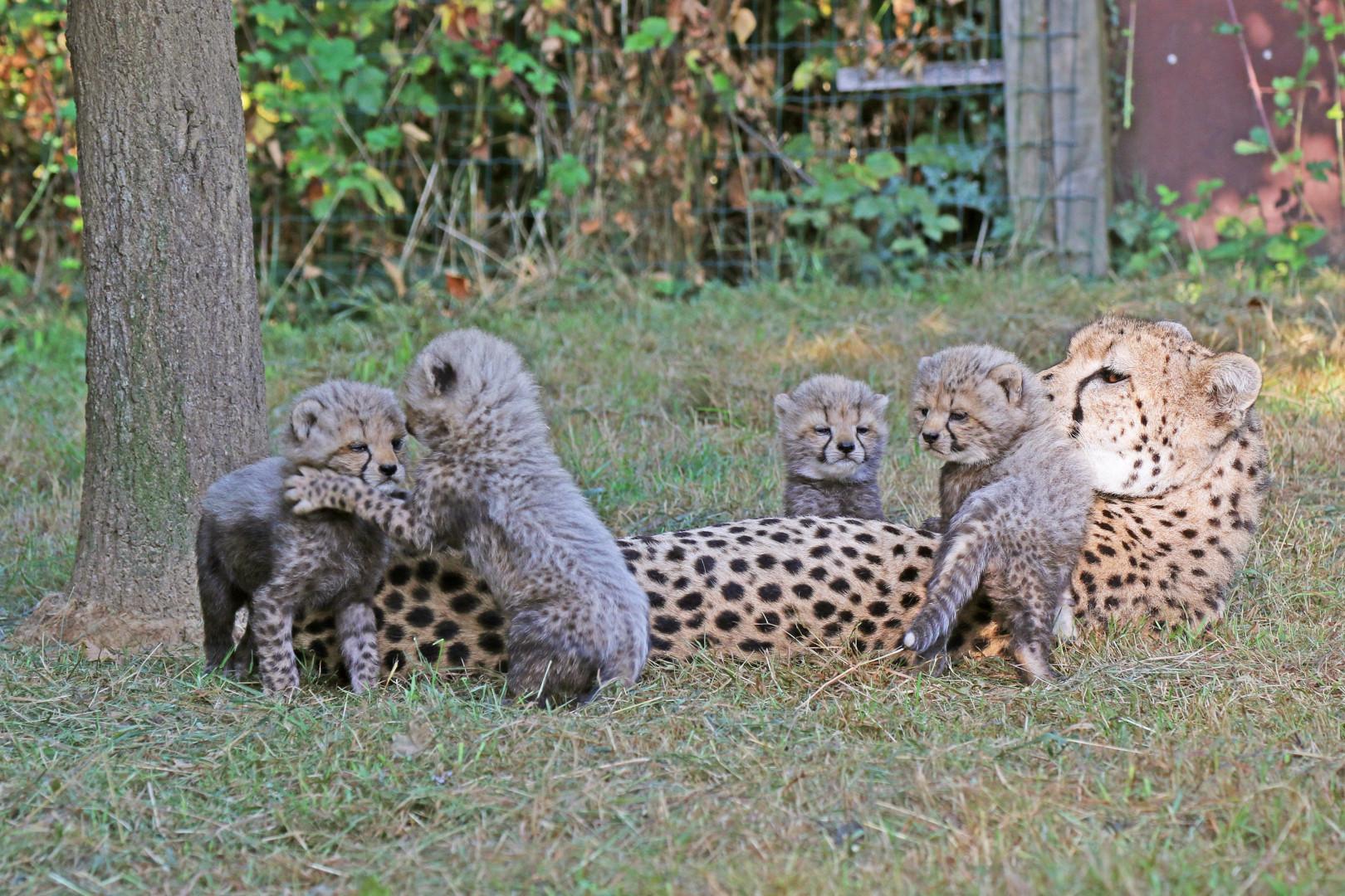 Les bébés guépards nés le 11 juillet dernier au Zoo de la Boissière du Doré