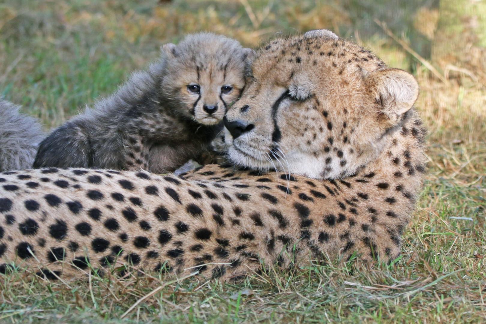 Un des bébés guépards nés le 11 juillet dernier au Zoo de la Boissière du Doré