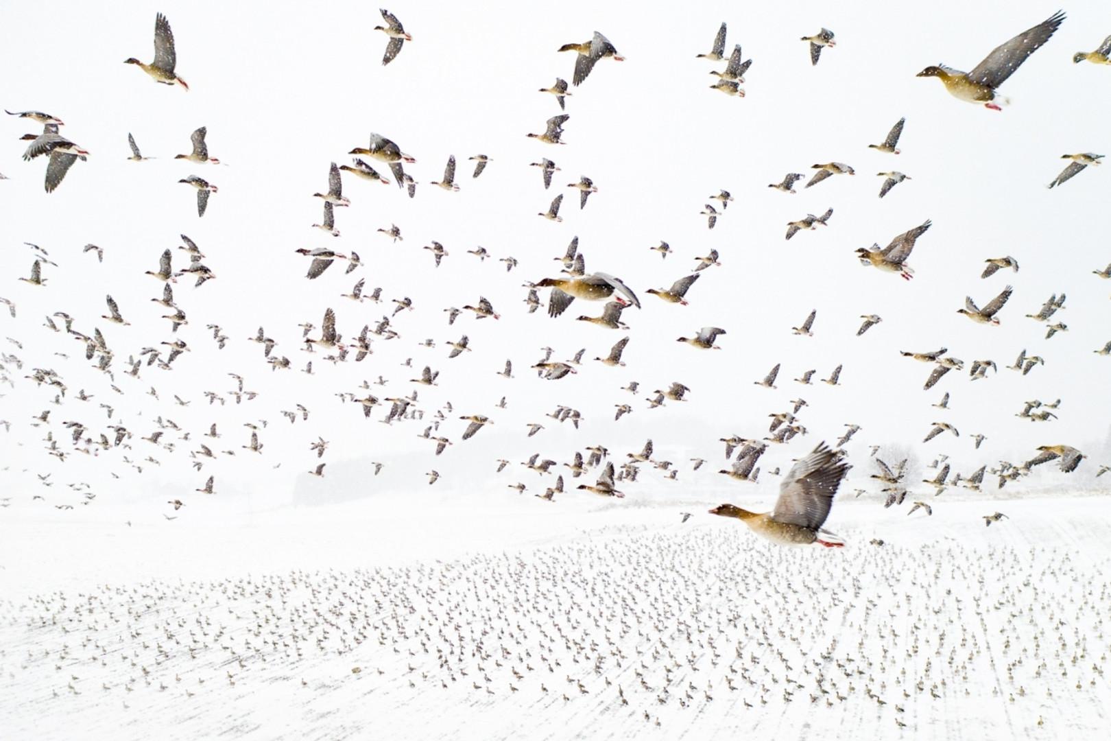 Oies à pieds roses à la rencontre de l'hiver, photo consacrée aux Drone Awards