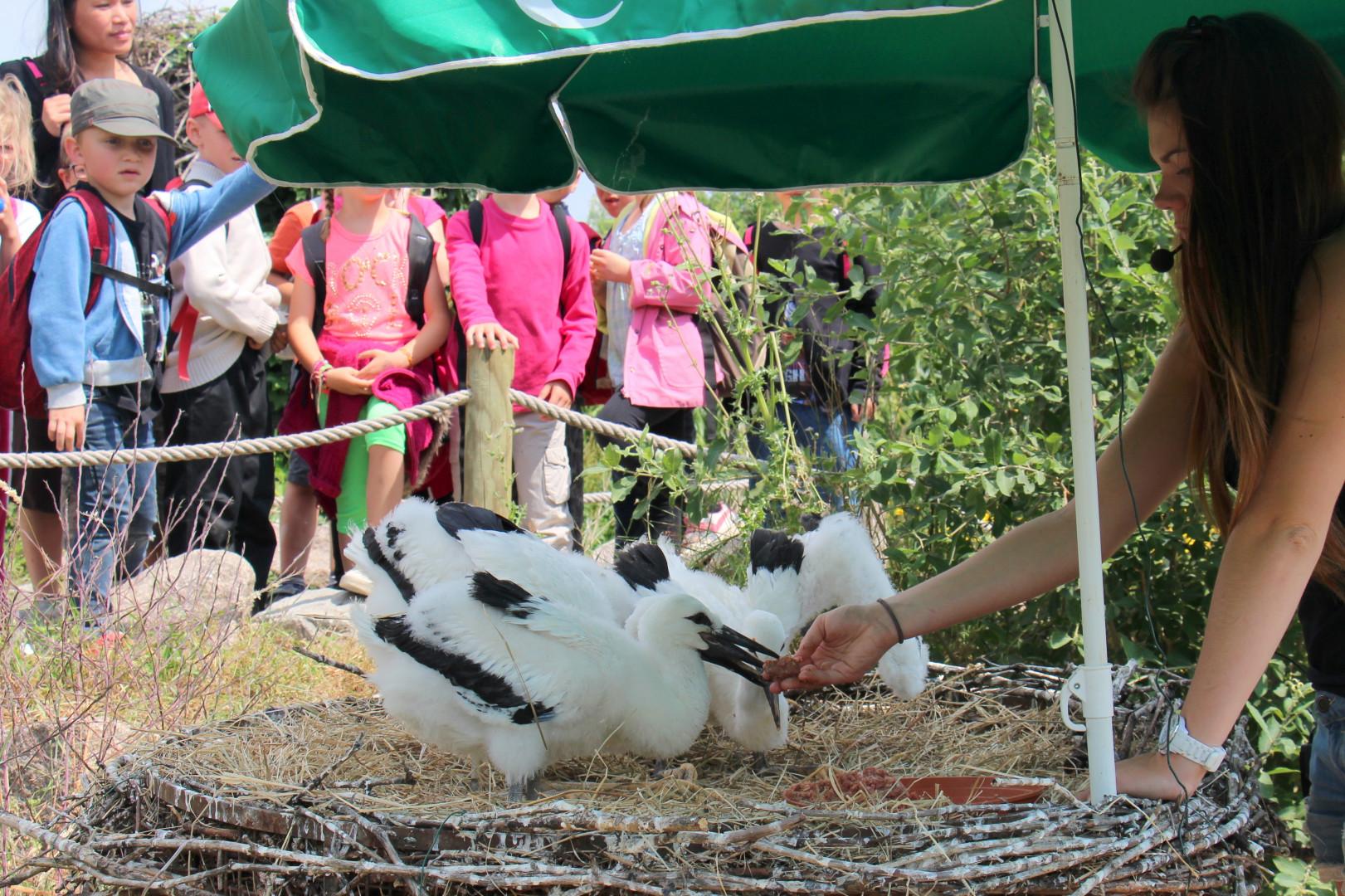 Aujourd'hui, les cigognes sont considérées comme sauvées