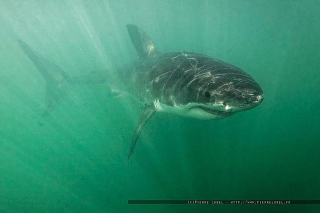 Le requin blanc, avec le thon rouge et la baleine bleue, fait partie des animaux les plus menacés par l'extinction. Le requin blanc, avec le thon rouge et la baleine bleue, fait partie des animaux les plus menacés par l'extinction.