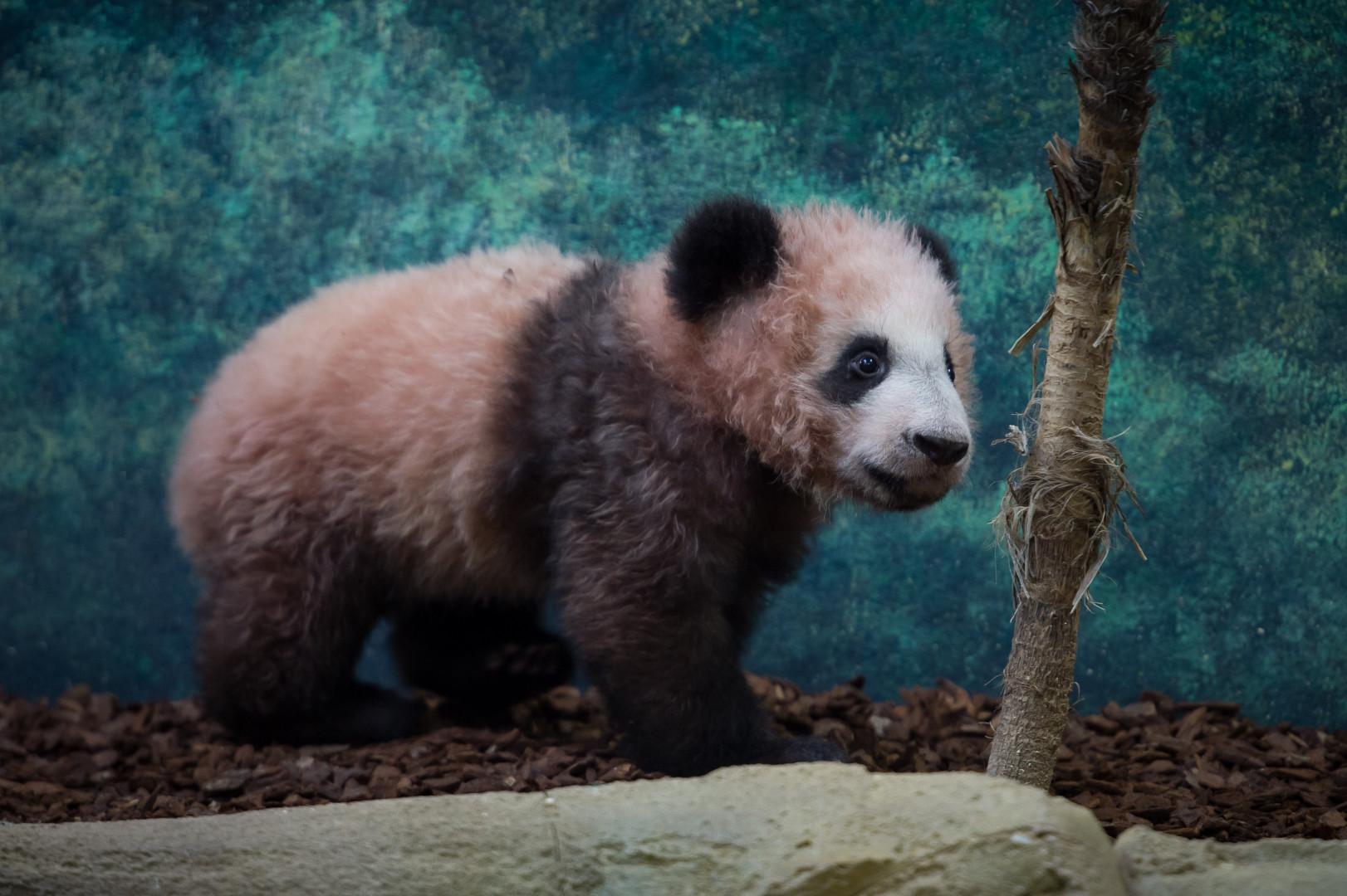 Yuan Meng, né en août 2017, pèse 11 kilos