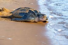 Une tortue luth photographiée le 4 juillet 2019 en Guyane (illustration).