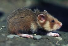 Un grand hamster d'Alsace sortant de son terrier