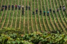 Des vignes, en Bourgogne, lors des vendanges, le 8 octobre 2013 (illustration)
