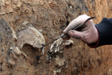 Un archéologue extrait un squelette humain à Lillebonne (illustration)