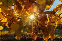 Des vignes sous le soleil automnal à Wolxheim, dans le Bas-Rhin