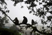 Des singes à Shimla, en Inde