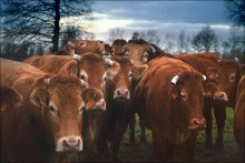 Des vaches limousines (Illustration).