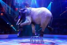 Un éléphant du cirque Bouglione le 23 octobre 2014 à Paris (illustration).