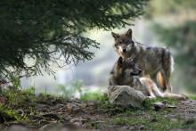 Des loups (illustration)