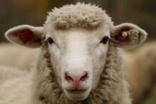 Un mouton (illustration)