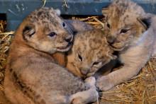 Trois lionceaux au zoo de Vincennes (illustration)