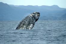 Déclarée en danger extrême d'extinction en 2003, la baleine grise occidentale a vu sa population augmenter de 60% en une décennie.
