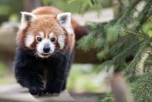 Un panda roux au zoo d'Amneville (illustration)