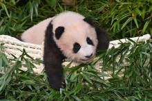 Le bébé Panda Fu Bao au zoo d'Everland en Corée du Sud, le 4 novembre 2020.