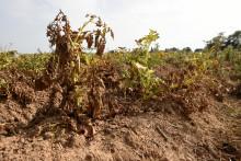 Un plant de pommes de terre affecté par la sécheresse dans les Hauts-de-France en 2018 (illustration)