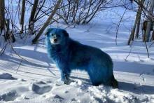 Des chiens au pelage bleu ont été observés dans la ville de Dzerjinsk en Russie.