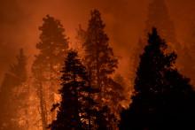 Des séquoia en Californie, durant les incendies de l'été 2020