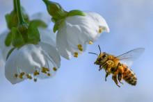 Une abeille butine
