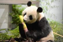 Shin Shin, le panda du zoo de Tokyo
