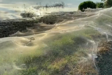 Toiles d'araignées géantes sur la côte australienne