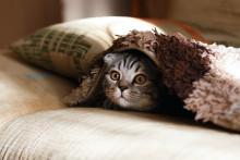 Le chat retombe-t-il vraiment sur ses pattes ?