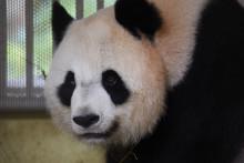 La femelle Huan Huan le 23 juillet 2021