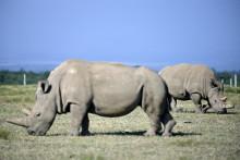 Najin et sa fille Fatu, les deux derniers rhinocéros blancs du Nord