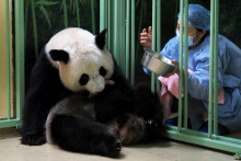 La femelle panda Huan Huan au zoo de Beauval à Saint-Aignan-sur-Cher, le 2 août 2021.