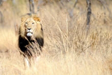 Un lion, dans la savane (illustration)