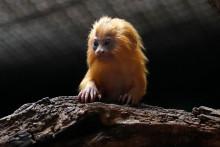 Un singe tamarin à tête de lion (illustration)