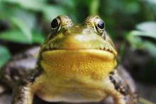 Une grenouille (image d'illustration)