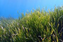 Des herbiers de posédonie, photographiés à La Ciotat, en France.