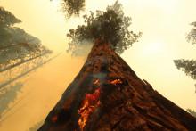 Les flammes se sont propagées dans les séquoias californiens.