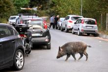 Un sanglier dans les rues de Rome.