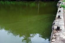 Les cyanobactéries donnent à l'eau une couleur verte et une consistance visqueuse (illustration)
