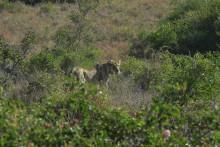 L'animal repéré pourrait être une lionne (illustration)